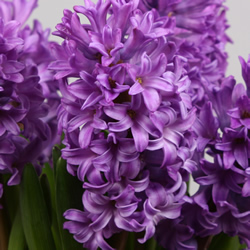 Hyacinthus Amaranta