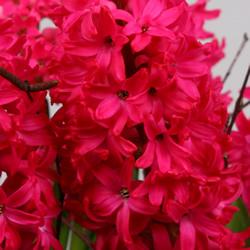 Hyacinthus Jan Bos