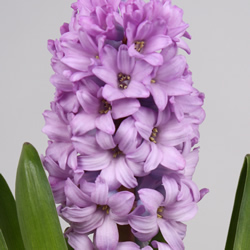 Hyacinthus Purple Star