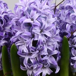 Hyacinthus Skyline